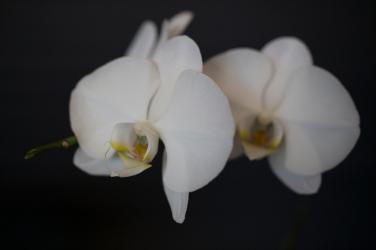 Arete Orchid-1